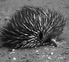 ECHIDNA IN BLACK & WHITE by Helen Akerstrom Photography