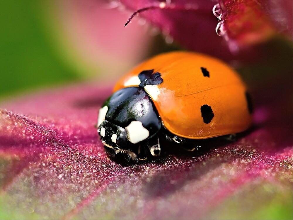 Ladybird - Ladybug - Marienkäfer - Glückskäfer II by Henry Jager