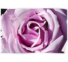 Blue Moon Hybrid Tea Rose Poster
