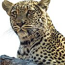 Leopard lookout by Linda Sparks