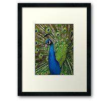 Peacock close up Framed Print