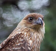 Whistling Kite by Lance Leopold
