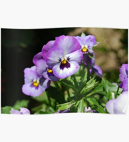 Purple Pansie Poster