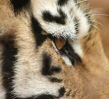Eye of the Tiger by Debbie Schiff
