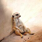 Mr Meerkat by Paul Cush