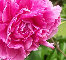 Flossie Peony by amberelladesign