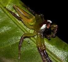 Northern Green Jumping Spider by Jason Asher