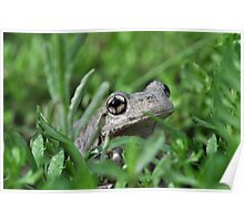 Perons Tree Frog, Litoria peronni. Poster