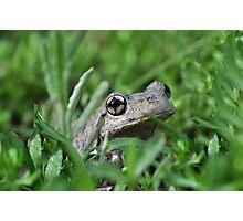 Perons Tree Frog, Litoria peronni. Photographic Print
