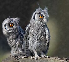 Baby Owls by Krys Bailey