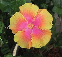 Pink and Yellow Hibiscus by Sarah Curtiss