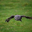 Great Grey Owl by Anne-Marie Bokslag