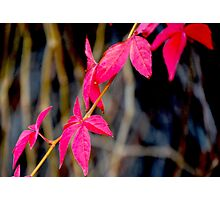Red Red Leaves Photographic Print