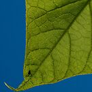 Fly on a leave. by Gabriel Skoropada