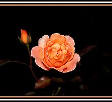Light Pink Rose by Reza G Hassani