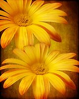 Daisy Duo by Myillusions