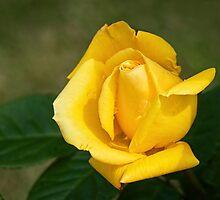 Yellow Rosebud by Susie Peek