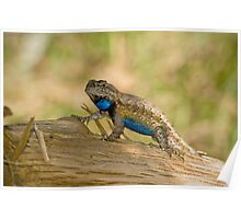 Male Fence lizard Poster