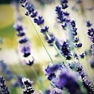 Lavender by Vicki Isted
