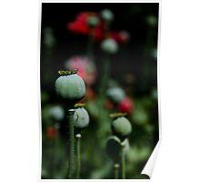 Opium Seeds Poster