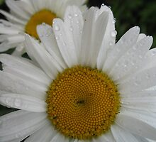 Daisies after a rain by JaneAlbin
