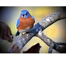 """Male Eastern Bluebird"" Photographic Print"