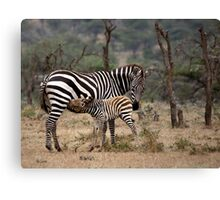 Suckling Zebra Canvas Print