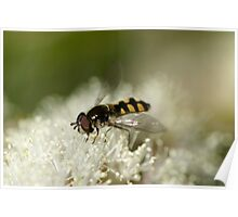 Bee Mimic Hoverfly Poster