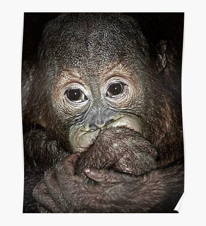 Orang Utan Baby Portrait Poster