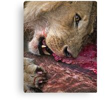 Lion's Meal Canvas Print