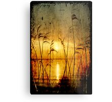 Reeds bathing in evening sun light Metal Print