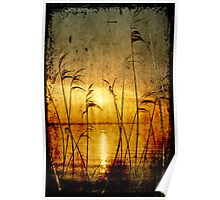 Reeds bathing in evening sun light Poster