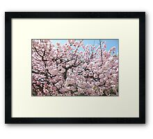 Japanese Cherry Blossom Framed Print