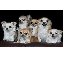 Chihuahuas group portrait Photographic Print
