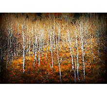 Aspen Grove - Young Trees Photographic Print