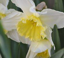 February Silver White & Yellow Daffodil by pyettphoto