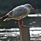 Seagull by dhphotography