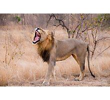 The Lion's Roar Photographic Print