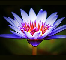 Waterlily Wonder by Kym Howard