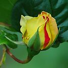 Peace Rose Bud by Terry Krysak
