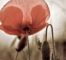 A Poppy for Remembrance  by Boston Thek Imagery