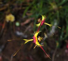 Caladenia lobata by Colin12