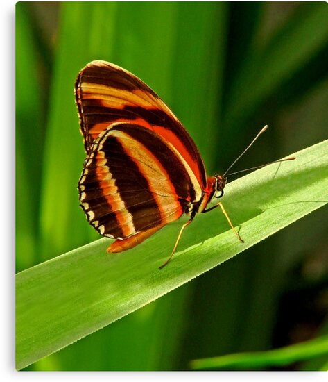 Butterfly-5 by Curtis  Sheppard