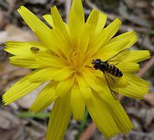 Welcome Aboard! - Launaea angustifolia (Arabian launea) by Meg Hart