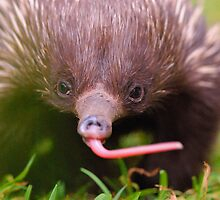 echidna by Carle Parkhill