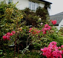 rose cottage in bloom by charliethetramp