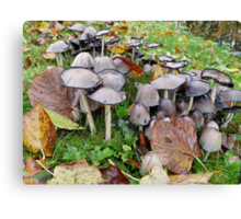 Coprinopsis atramentaria,common ink cap or inky cap Canvas Print