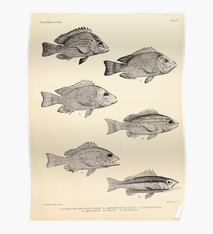 The fishes of India by Francis Day 009 - Lutianus Erythropterus young - L Erythropierus adult - L Dodecacanthus - L Bengalensis - L Fulvus - L Biguttatus Poster
