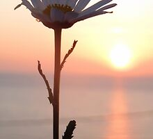 Sunset Daisy by ienemien