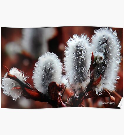 Pussy Willow Flowers Poster